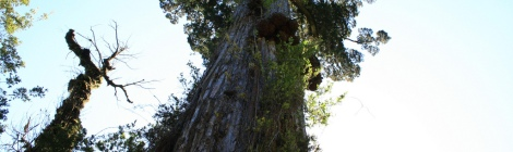 The Alerce tree --- Flora Chile