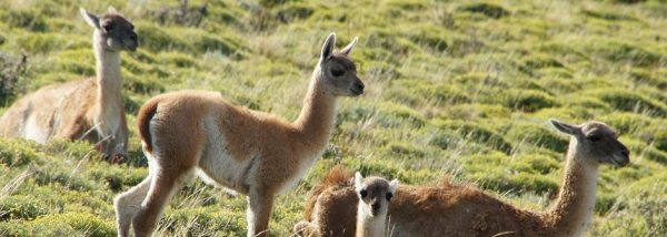 Guanaco family at Torres del Paine, Patagonia Chile