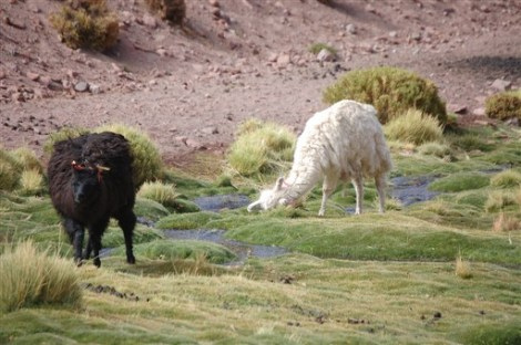 Llamas of Machuca Atacama Chile