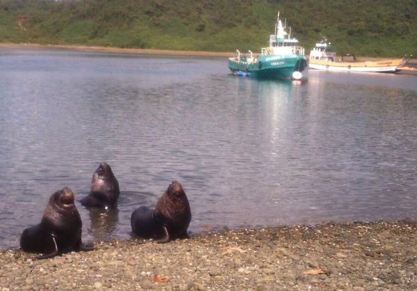 Friendly sea lions in Angelmó Chile