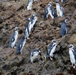 Chiloe Penguins