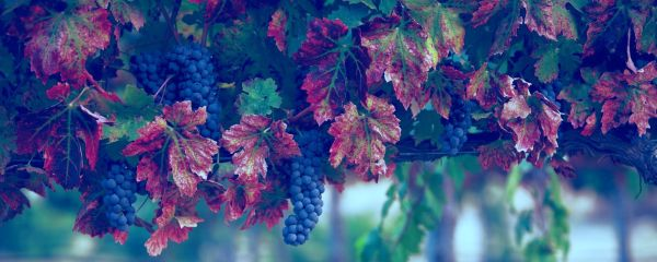 Grapes Chile