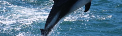 Dolphin Chile