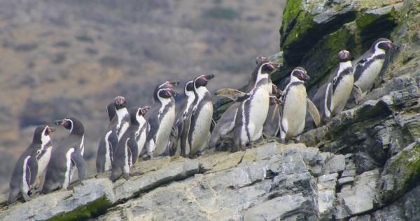 Reserva-pinguino-de-humboldt-gabriela-lopez-ID80-mpo33gx03cr0uzueumz2oiezkz480f9qygw2940ii8
