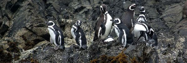 penguins of Chiloe island